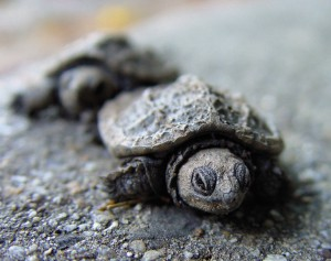 turtles_maryland_babies_14248_o